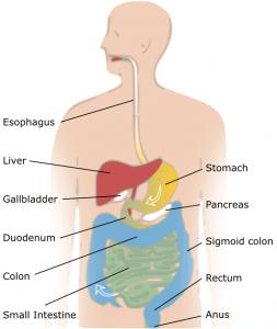 digestive_system image