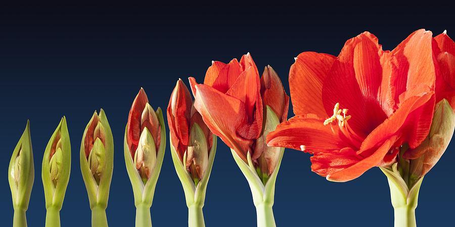 blossoming-amaryllis